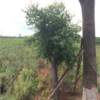 山西運城供應8公分10公分12公分楸樹·8-12公分楸樹價格