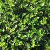 江西地区一年生两年生油茶苗供应