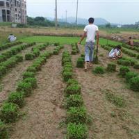 草皮 草坪 大叶油草 马尼拉 台湾草