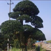 精品罗汉大树供应。