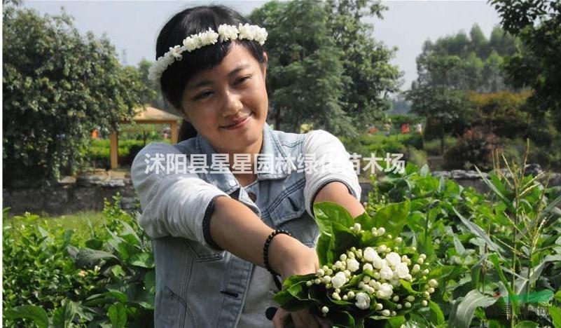 特价20万棵茉莉花盆栽,带花苞。