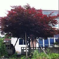 四季红,红枫供应红枫2一13公分,加拿大枫叶树。