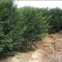 植物中的大熊猫也叫紫杉树,江苏*大'''红豆杉'大树苗供应!