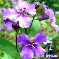 二月兰种子 新上市二月兰种子批发 各种花卉种子批发 量大价优