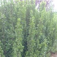特价优质北海道黄杨,1到3米高度,量大优惠!