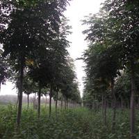 批发黄山栾树大小尺寸绿化苗木!