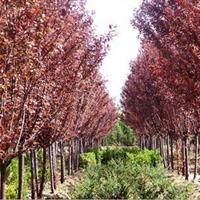优质红叶李基地直销批发园林绿化乔木色块苗等绿化苗木工程用苗
