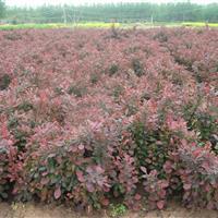 江苏星星园林特价批发  红叶小檗 工程绿化苗 规格齐全