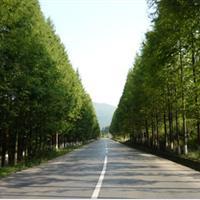 基地直销 水杉 水杉树 各种规格水杉树 工程绿化苗木