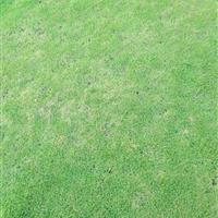马尼拉草皮暖季单价。3元/平方米。冬季单价3.5元平方米