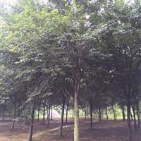 优质精品红榉树.20公分精品红榉树.18公分精品优质红榉
