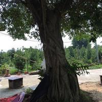 广东地区快乐赛车开奖高7-8米榕树,胸径30-40公分。