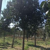 大量供应3到20公分大叶女贞行道树。