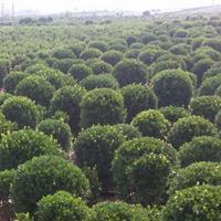大量批发大叶黄杨球 冬青球 小叶黄杨 绿篱四季常青绿化苗木