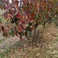 柿树的价格更新·大柿子树产地详情·山西大规格柿子树