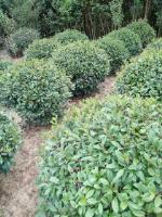安徽红叶石楠球、肥西红叶石楠基地、供应红叶石楠苗木价格表