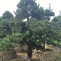 江蘇批發羅漢松樹苗 綠化工程苗木 造型羅漢松大小俱全