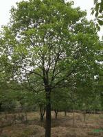 香樟树供应/香樟树图片