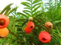 江苏红豆杉种子*新报价/红豆杉种子图片