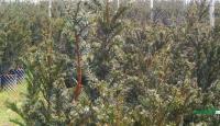 曼地亚红豆杉供应/曼地亚红豆杉图片
