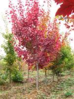 美国红枫供应/美国红枫图片