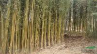 江苏供应这种规格金镶玉竹,青竹,毛竹,紫竹,观音竹,规格全