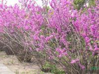 紫荆供应/紫荆图片