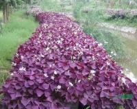 紫叶酢浆草供应/紫叶酢浆草图片