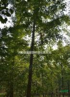 低价供应各种规格银杏行道树