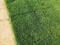 【优质推荐】矮生百慕大草坪 优质草 密度高 耐践踏
