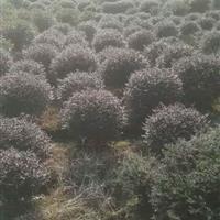 常州红花继木球冠幅50公分-2米的批发
