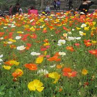 优质虞美人种子 冰岛虞美人种子 江西草花种子  花卉种子批发