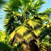 四川泸州基地直销 点景 片植 行道树 杆高3―6米 老人葵