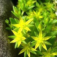 垂盆草 垂盆草小苗  垂盆草种子 垂盆草香港曾道人绿化小区绿化