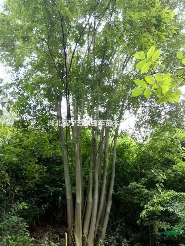 湖北咸宁艺家百年苗木基地供应精品3一7枝杆丛生朴树