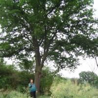 哪有大皂角树?原生大皂角详情·皂角树产地地址供应山西皂角树