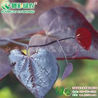 加拿大红叶紫荆 供应红叶紫荆树苗 加拿大紫荆小苗供应采购