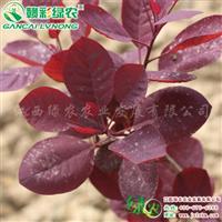 美国紫叶红栌 供应紫叶红栌树苗 美国红栌嫁接苗供应包成活