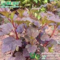 紫叶风箱果 落叶灌木 江西风箱果树苗 正宗紫叶风箱果树供应