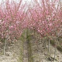 供应各种规格的紫叶李、西府海棠、榆叶梅、碧桃、木槿
