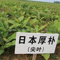 日本厚朴 供应厚朴树苗 正宗日本厚朴小苗 观花树苗供应
