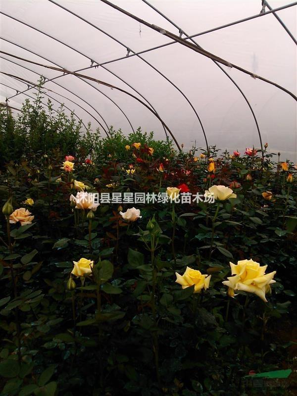 江苏大量供应月季,玫瑰,欧月,醉贵妃等品种颜色齐全,花色新美