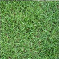 馬尼拉草坪*新供應,天堂草,四季青等草坪。