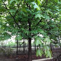星星园林供应1到20公分粗七叶树,规格齐全