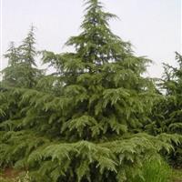 江蘇低價供應1米至10米雪松,又名圣誕樹