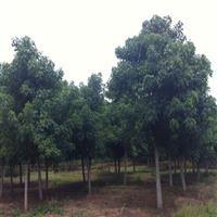 江蘇供應各種規格楸樹。