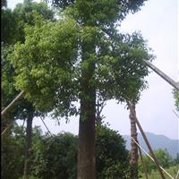 江蘇星星園林大量供應香樟樹規格齊全