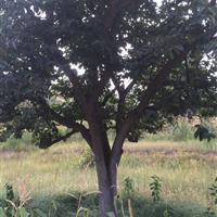 今后大规格柿树·今后大柿子树·30-50公分大柿子树今后价格
