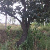 柿树价格·米径30公分·米径40公分·米径50公分大柿子树