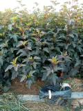 2016年*新紫葉楓香果價格